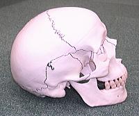 頭蓋仙骨療法とは、オステオパシーの一種で、主に頭蓋骨から骨盤を軽く触れる手技によって脳脊髄液の流れを改善する療法です。
